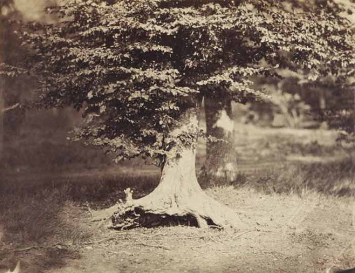 Gustave Le Gray (1820-1884). Il faggio, foresta di Fontainebleau, c. 1856. Stampa su carta all'albumina, cm 31.8x41.4. Washington National Gallery of Art