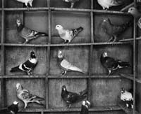 fazel_sheikh-pigeons_india