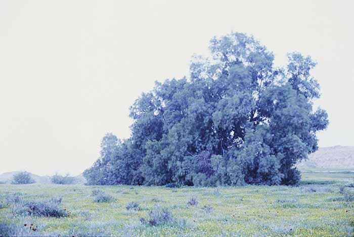 © Rafael Y. Herman. felix taeda II, 2014. chromogenic, 180 x 270m