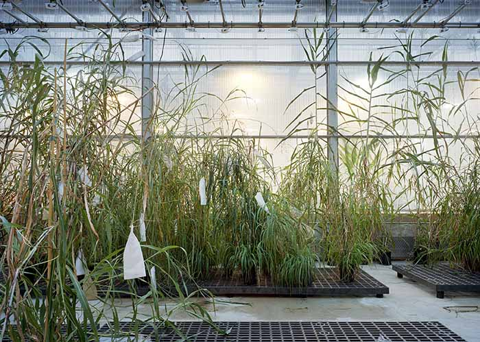 © Thomas Struth. Sorghum, Danforth Plant Science Center, St Louis 2017